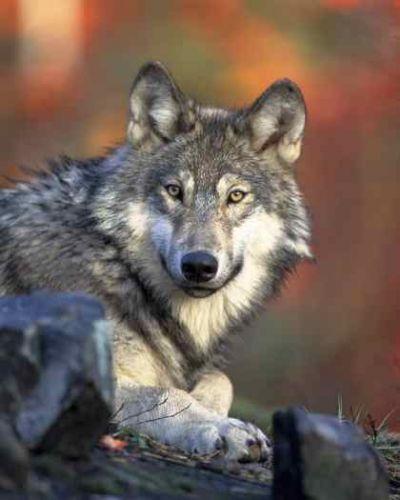 gray-wolf-gazing.jpg